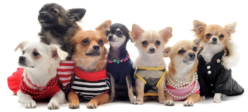 Chihuahuas Clothes