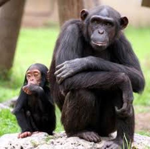 Chimpanzees Pictures