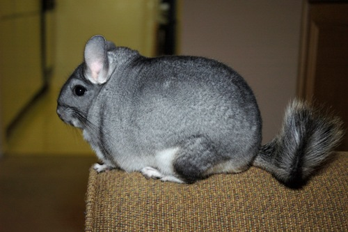 Chinchillas facts