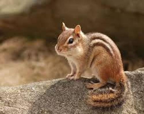 Chipmunks Pic