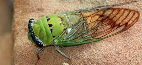 Cicadas Image