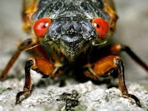 Cicadas Pictures