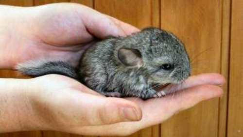Facts about Chinchillas