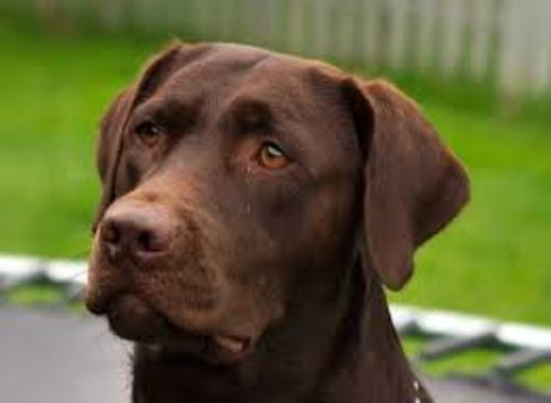 Facts about Chocolate Labs