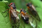 10 Facts about Cicadas