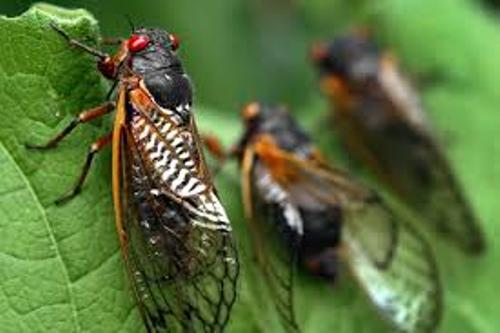 Facts about Cicadas