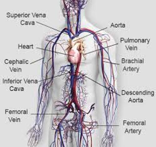 Facts about Circulatory System