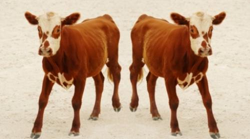 Cloning Animals