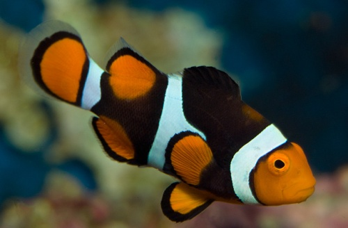 Clownfish Color