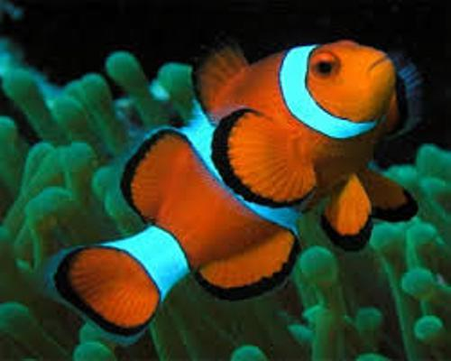 10 Facts about Clownfish | Fact File
