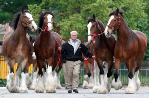 Clydesdales Horse