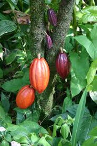 Cocoa Bean Trees