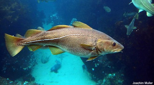 10 facts about cod fish fact file for Maine state fish