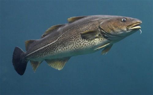 Cod Fish Pic