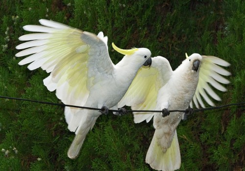 Facts about Cockatoos