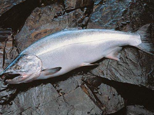 Coho Salmon Image