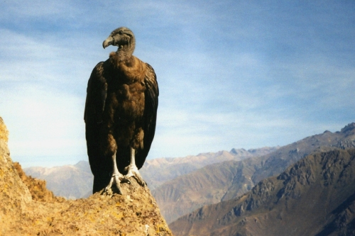 Condor Facts