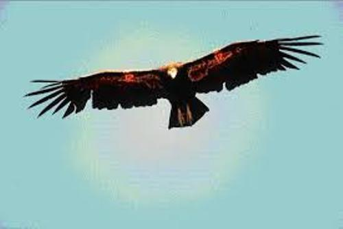 Facts about Condors