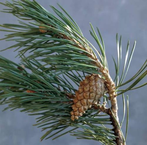 Coniferous Tree Pictures