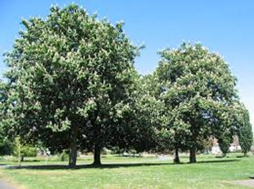 Conker Tree Pic