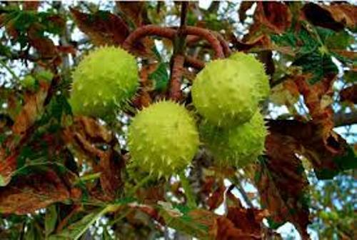 Conker Trees Image