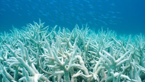 Coral Bleaching Image