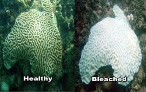 Coral Bleaching Images
