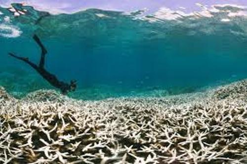 Coral Bleaching Pic
