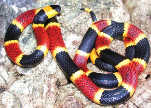 Coral Snake Colors