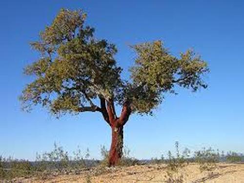 Cork Tree Pictures