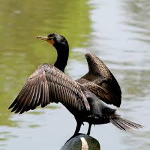Cormorant Pic