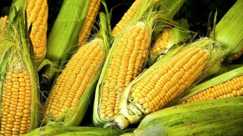 Corn Pictures
