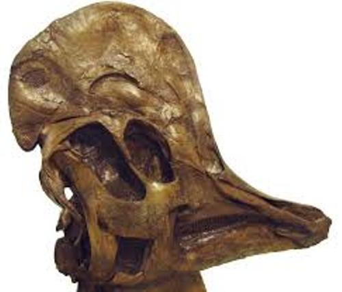Corythosaurus Skull