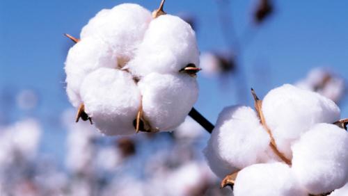 Cotton Pic