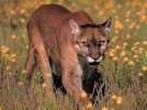 10 Facts about Cougars