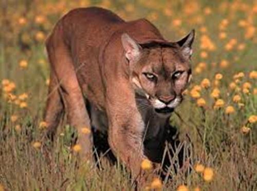 Cougar Pic