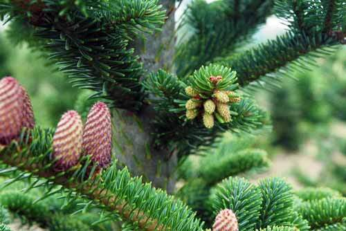 Facts about Coniferous Tree