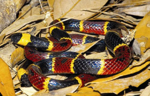 Facts about Coral Snakes