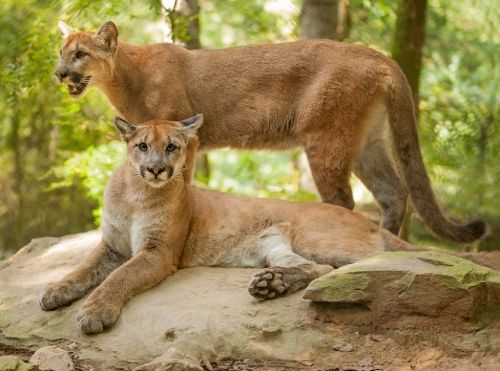 Facts about Cougars