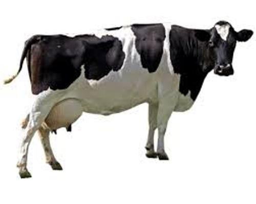 Cow Pic