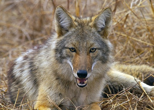 facts about coyotes