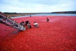 10 Facts about Cranberries