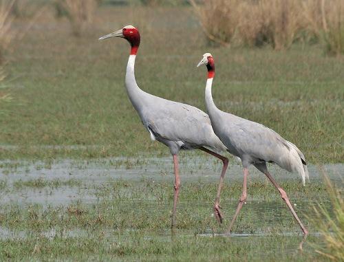 Cranes Beauty