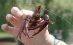 10 Facts about Crayfish