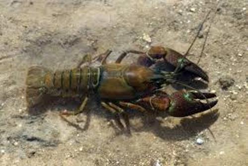 Crayfish Pic