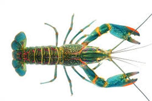 Crayfish Size