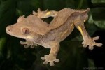 10 Facts about Crested Geckos
