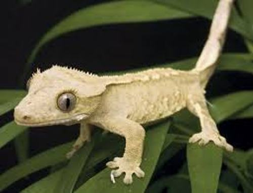 Crested Geckos Facts