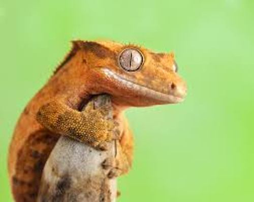 Crested Geckos Pictures