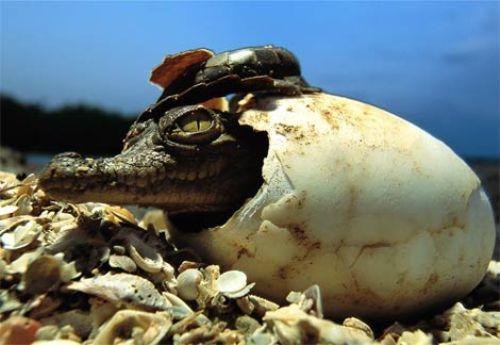 Crocodiles Image